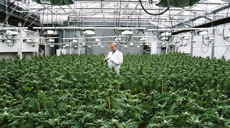 Cannabis Medicinal Botanica